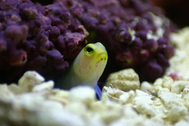 A yellowhead jawfish peeks out of its burrow in a home aquarium. (Image Credit: Robert Harman)