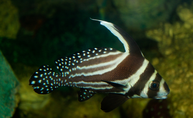 An adult spotted drum. (Image Credit: Brian Gratwicke)