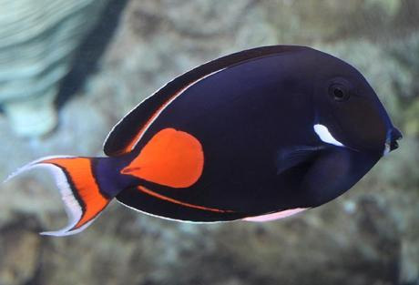 A large Achilles tang (Acanthurus achilles). (Image Credit: Unknown; sourced from www.oceans.co.il)