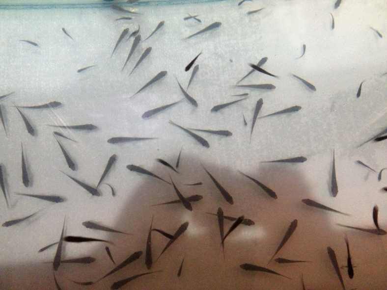 A tank full of various Garra spp. minnows at a fish spa in Bangkok, Thailand. (Image Credit: Ben Young Landis/CC-BY)