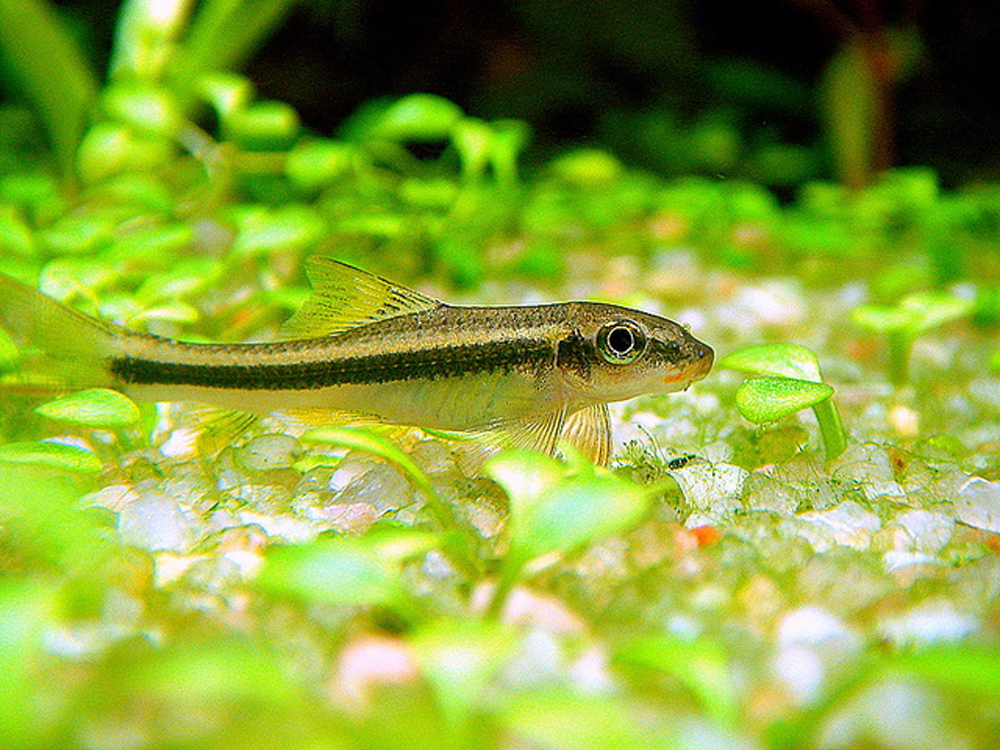 False siamese algae eater garra cambodgiensis better for Algae eating fish