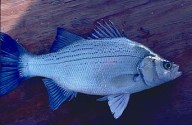 White bass (Morone chrysops). (Image Credit: Utah Division of Wildlife)