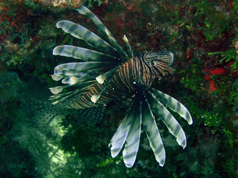 A lionfish (Pterois volitans) in Eleuthera, Bahamas -- not its native habitat. (Image Copyright: Michael D. Scherer; used with permission)