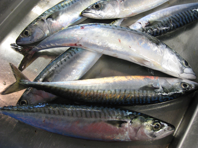 Atlantic mackerel collected by researchers during a bottom trawl survey. NOAA's Northeast Fisheries Science Center conducts these surveys to provide information on the abundance, biology, and distribution of the marine resources in the Northwest Atlantic. (Image Credit: NOAA)