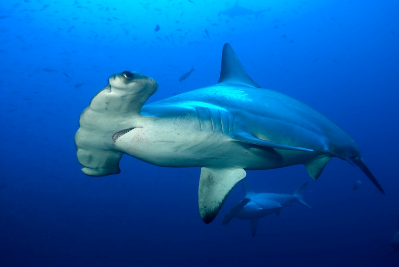 "Sphyrna lewini, the scalloped hammerhead shark, and the ""scalloped"" front edge of its head. (Image Credit: Simon Rogerson/IUCN)"