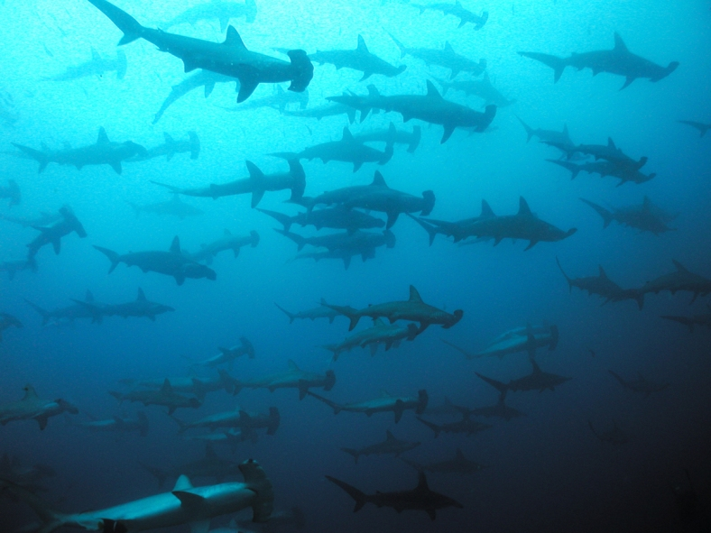 A school of scalloped hammerheads (Sphyrna lewini) near Malpelo Island, Colombia. (Image Credit: Fred Garth)