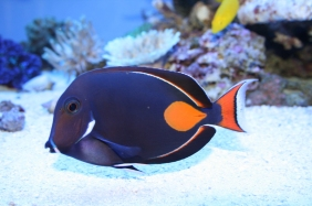 What would an evening gown inspired by the Achilles tang (Acanthurus achilles) look like? (Image Credit: Unknown; sourced from fishville.wikia.com)
