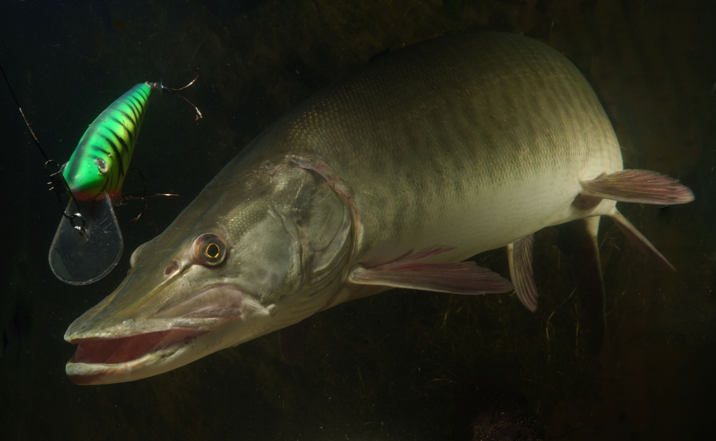 Muskellunge esox masquinongy better know a fish for Fishpond fishing