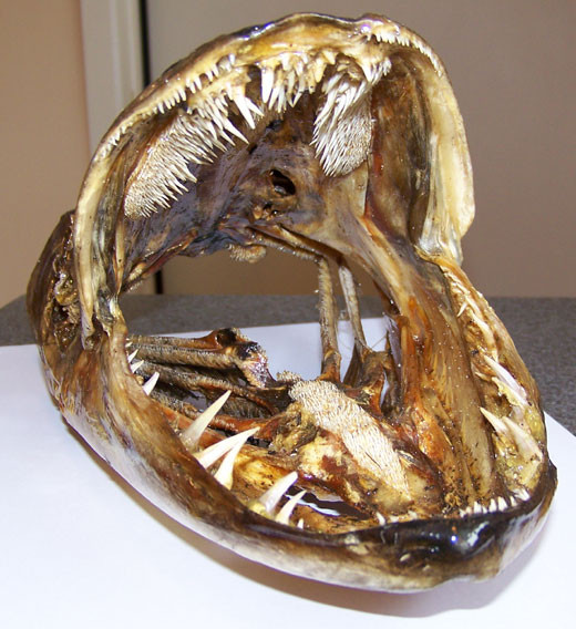 The toothy jaws and palate of a muskellunge (Esox musquinongy). (Image Credit: Unknown;  sourced from http://www.muskiescanada.ca)