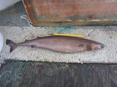 Isistius brasiliensis, the cookiecutter shark. (Image Credit: NOAA Fisheries Service Pacific Islands Regional Office)