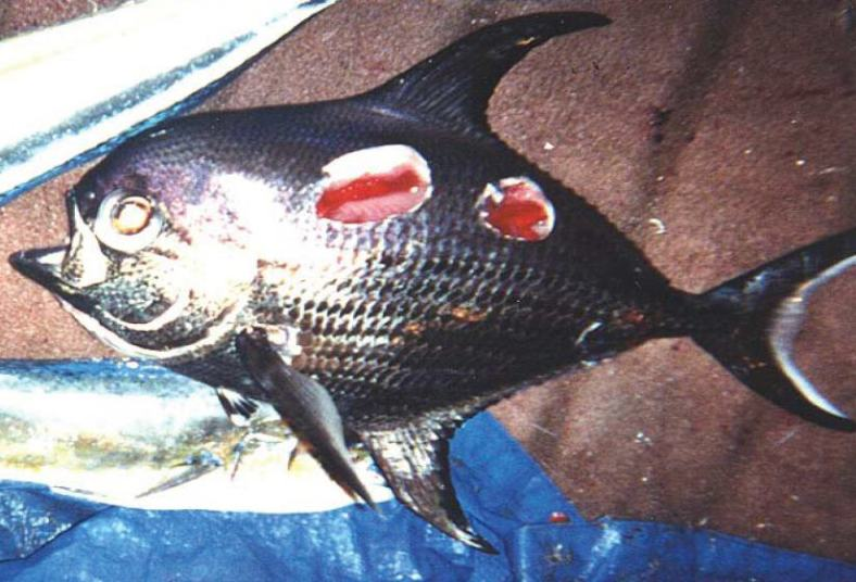 A sickle pomfret (Taractichthys steindachneri) with cookiecutter shark wounds. (Image Credit: NOAA Pacific Islands Fisheries Science Center)