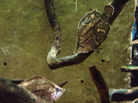 Amazon leaffish (Monocirrhus polyacanthus) at the Steinhart Aquarium, California Academy of Sciences. (Image Credit: Ben Young Landis/CC-BY)