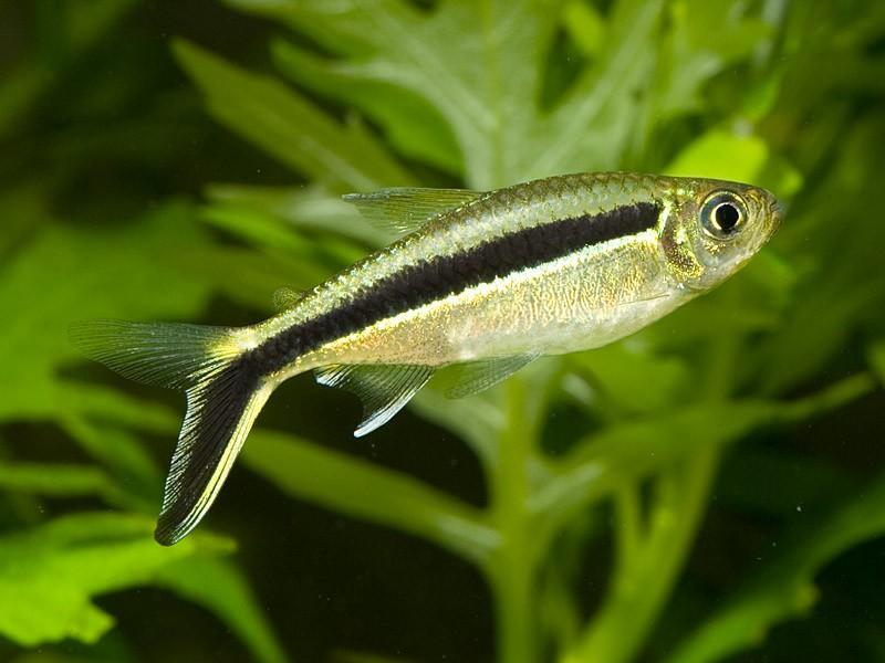 Hockeystick Tetra (Thayeria boehlkei) Better Know a Fish!