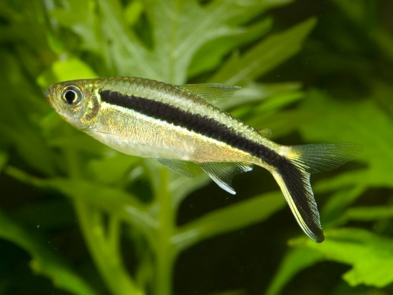 Hockeystick tetra thayeria boehlkei better know a fish for Tetra acquario