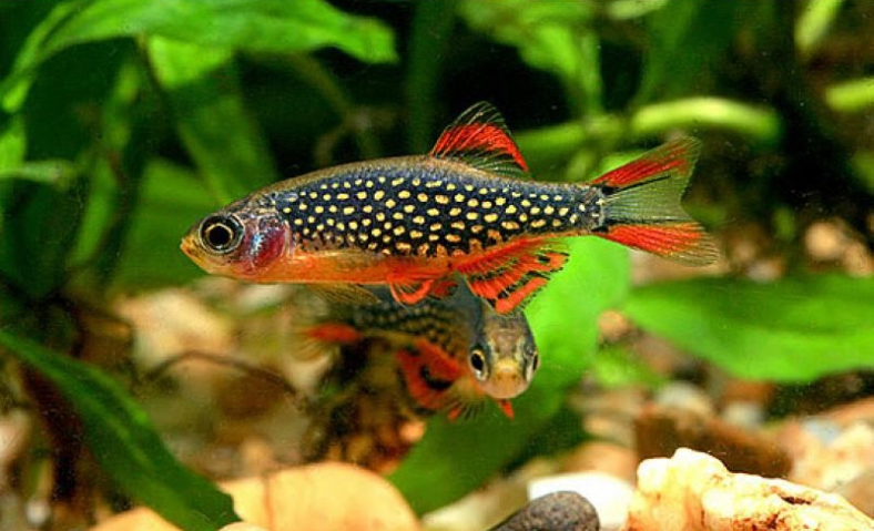 Danio margaritatus, the celestial pearl danio, a small cyprinid from Burma. (Image Credit: TropicalFiskKeeping.com)