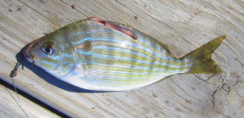 A pinfish (Lagodon rhomboides) on a dock in North Carolina. (Image Credit: Suzanne Smith)