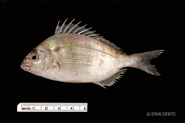 The needle-sharp dorsal spines of the pinfish (Lagodon rhomboides) is apparent in this specimen. (Image Credit: The Southeastern Regional Taxonomic Center (SERTC), South Carolina Department of Natural Resources)