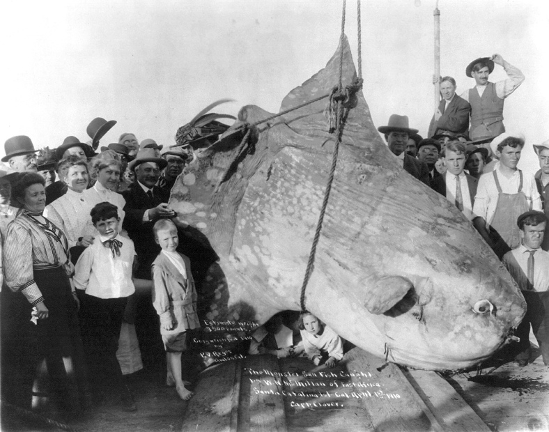 A mola (Mola mola) captured off of Catalina Island, California, in 1910, reported at 3,500 pounds. (Image Source: U.S. Library of Congress PPOC)