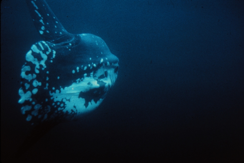 An ocean sunfish (Mola mola) photographed in Florida waters. (Image Credit: NOAA OAR/NURP)
