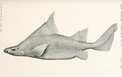 An illustration of a prickly dogfish (Oxynotus bruniensis) from a 1913 record from the  Australia Department of Trade and Customs. (Image Source: http://www.archive.org/details/fisherieszoologi02aust)