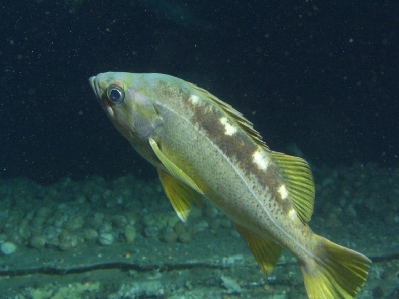 A yellowtail rockfish (Sebastes flavidus), one of the top commercial rockfish species from British Columbia, and a possible identity for our anonymous fillet. (Image Credit: Jean DeMarignac/NOAA SIMoN)
