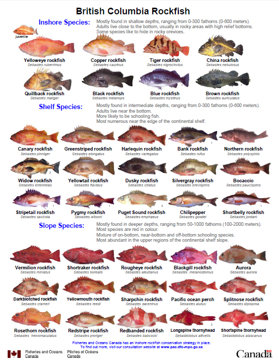 A poster of British Columbia rockfish species, produced by Fisheries Oceans Canada. Click Image to open the poster PDF file. (Image Credit: Fisheries and Oceans Canada)