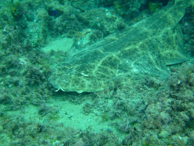 The angelshark (Squatina squatina) blends into its environment. (Image Credit: Flickr user greenacre8/CC-BY-2.0)