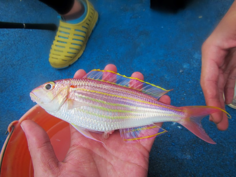 A golden threadfin bream (Nemipterus virgatus) caught off of northern Taiwan. (Image Source: dracula0911.blogspot.com)