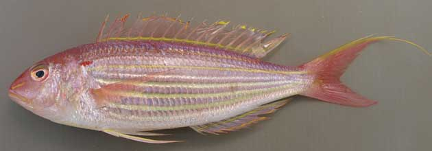 Nemipterus virgatus is known as itoyoridai in Japanese. (Image Source: www.takasushiatlanta.com)