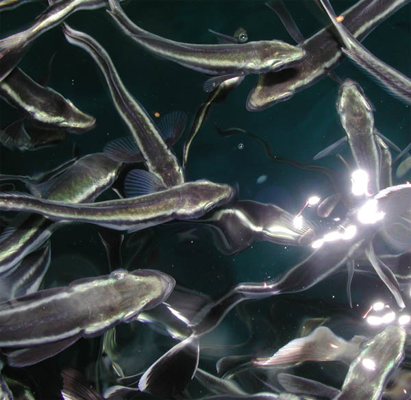 Juvenile cobia at an aquaculture facility. (Image Credit: NOAA)