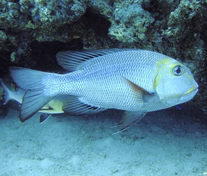 An adult bigeye emperor (Monotaxis grandoculis) in Hurghada, Red Sea. (Image Credit: Thomas Jundt/www.corals.org)