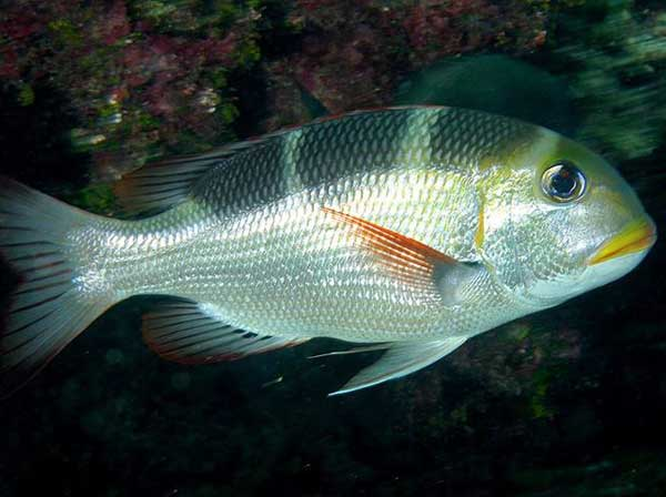 Monotaxis grandoculis, the bigeye emperor. (Image Credit: James Watt/Papahānaumokuākea Marine National Monument)