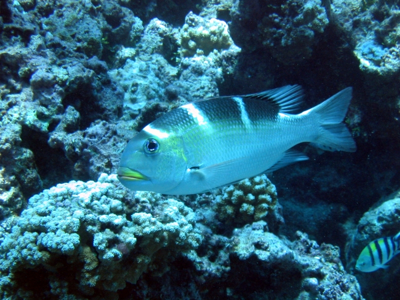 A bigeye emperor in northwest Hawaii Islands. (Image Credit: Dwayne Meadows/NOAA/NMFS/OPR)