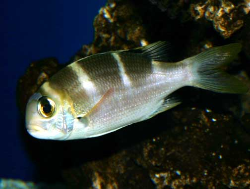 A juvenile bigeye emperor (Monotaxis grandoculis), known as