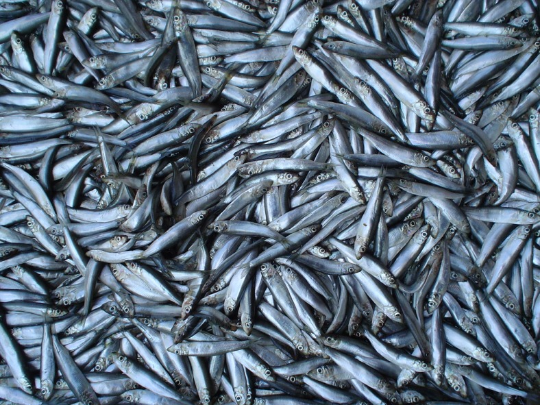 Salted sprats (Sprattus sprattus) at a bazaar in Odessa, Ukraine. (Image Credit: Niki K/Wikimedia Commons)