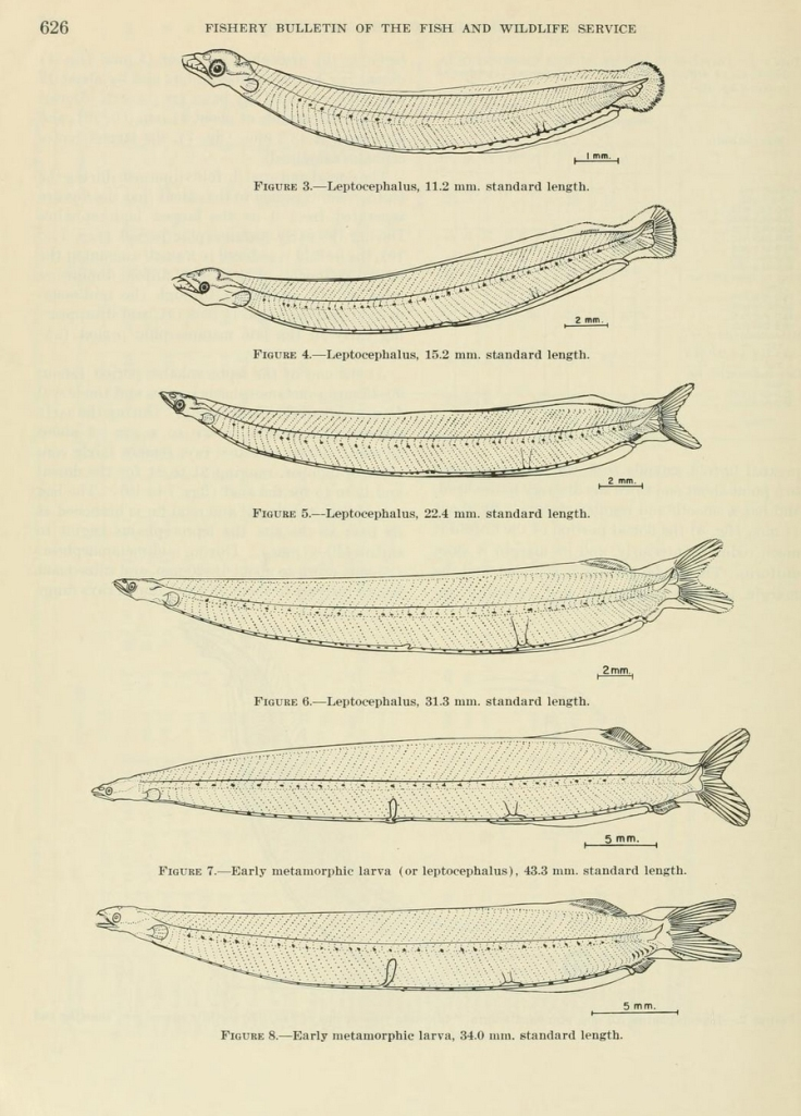 Some of the larval stages of the ladyfish (Elops saurus), a relative of the machete (Elops affinis). (Figures 3-8 from Gehringer 1959)