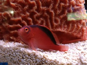 Neocirrhites armatus, the flame hawkfish, perched in a saltwater aquarium. (Image Credit: Ben Young Landis/CC-BY)