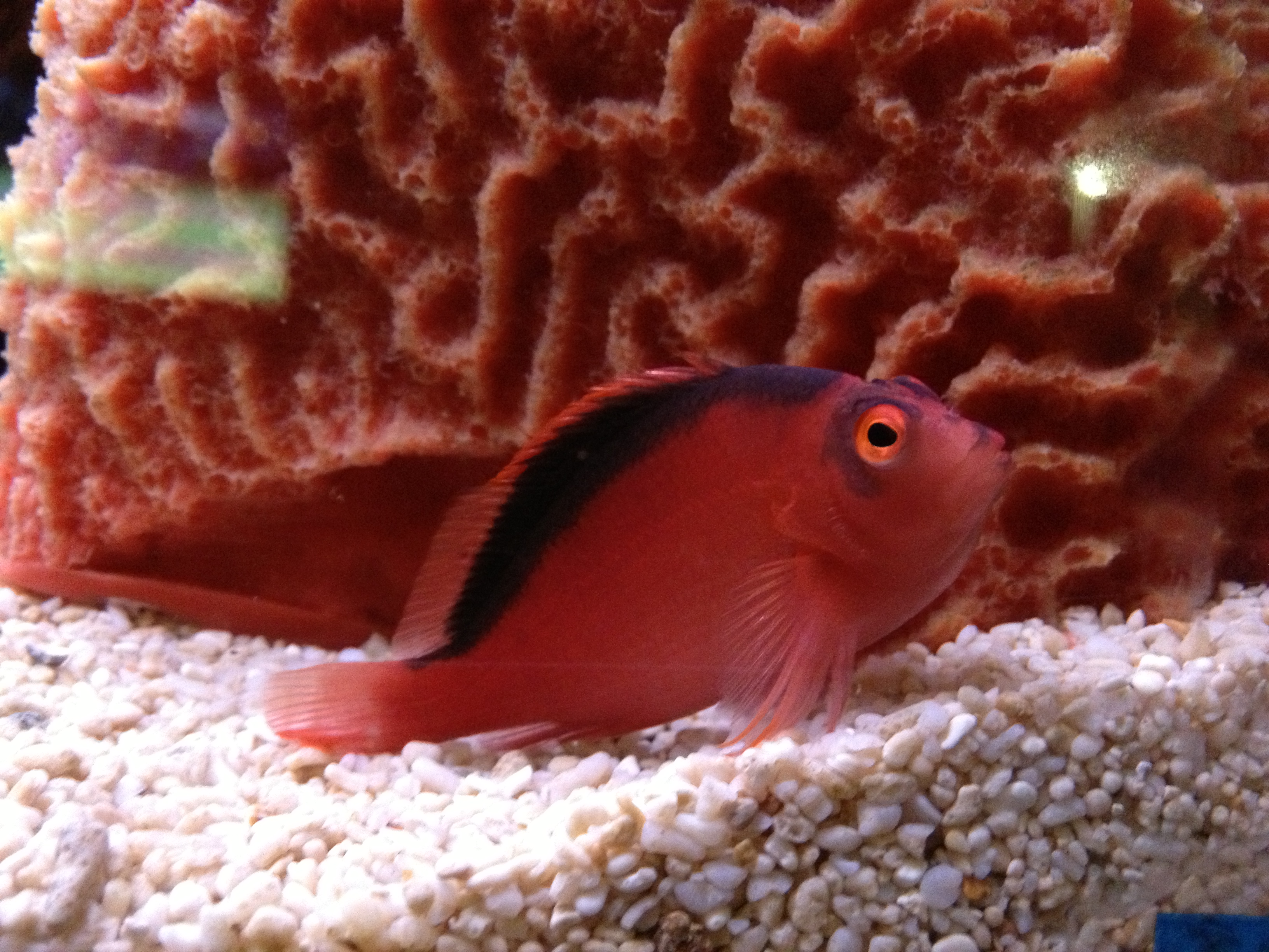 Flame Hawkfish (Neocirrhites armatus) | Better Know a Fish!