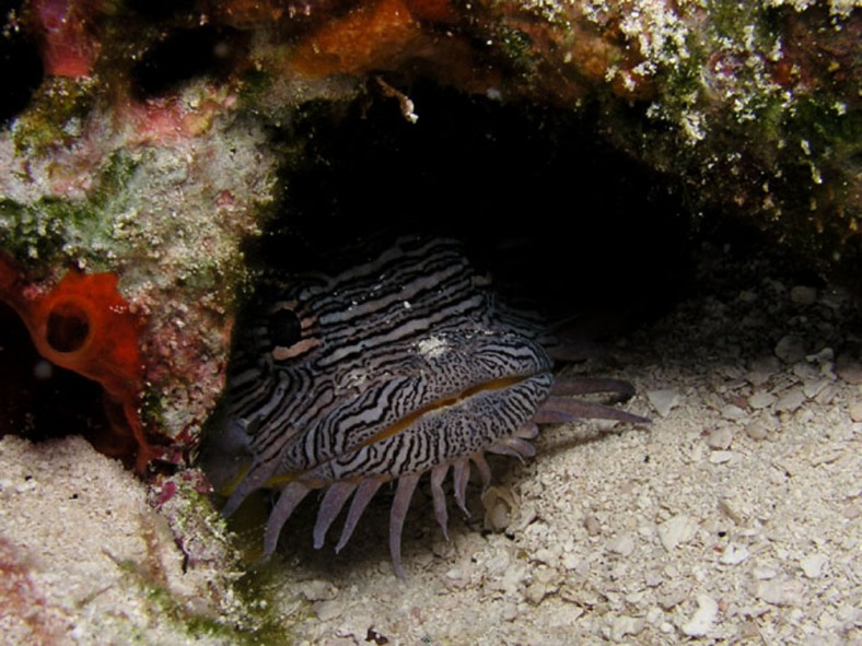 Sanopus splendidus, the splendid toadfish, photographed in Cozumel, Mexico. (Image Credit: Jim Lyle. Used with permission.)