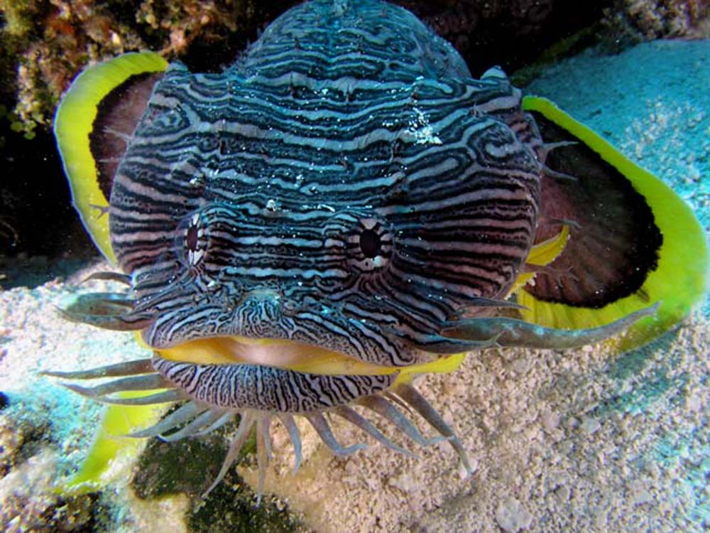 Splendid toadfish sanopus splendidus better know a fish for Fish in mexico