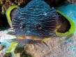 Sanopus splendidus, the splendid toadfish, photographed in Cozumel, Mexico. (Image Credit: Jim Lyle. Used with permission.)