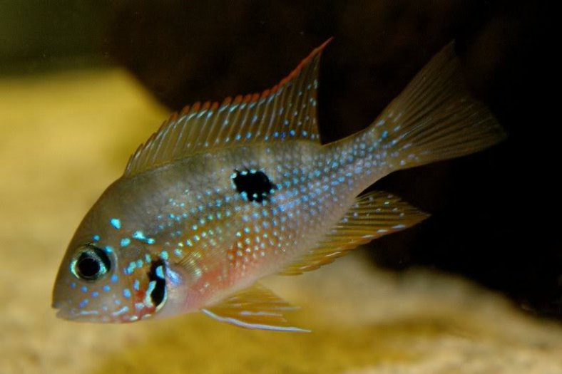 A young Thorichthys ellioti. (Image Source: www.aquariacentral.com/forums)