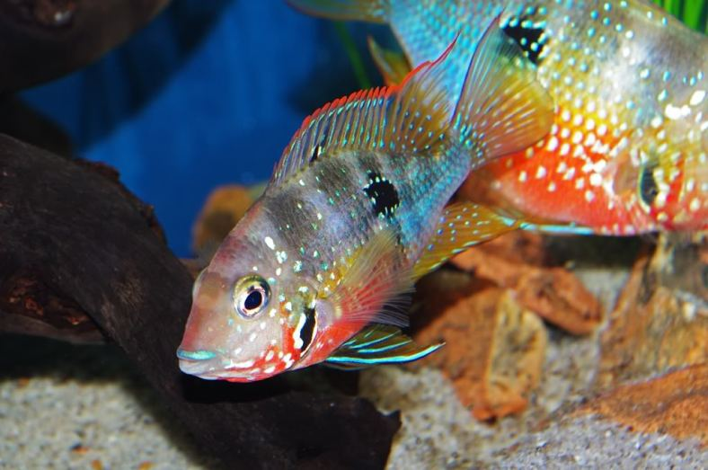 Thorichthys ellioti (Image Source: www.aquariumlife.com.au)