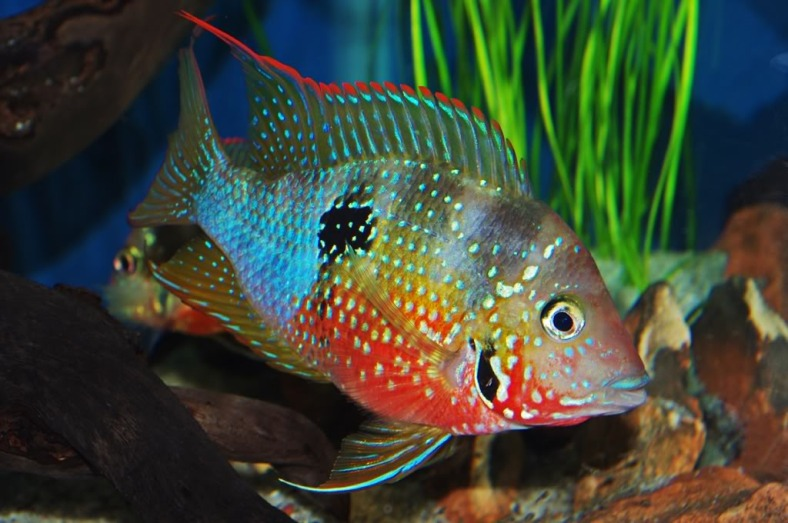 An adult Thorichthys ellioti. (Image Source: www.aquariumlife.com.au)
