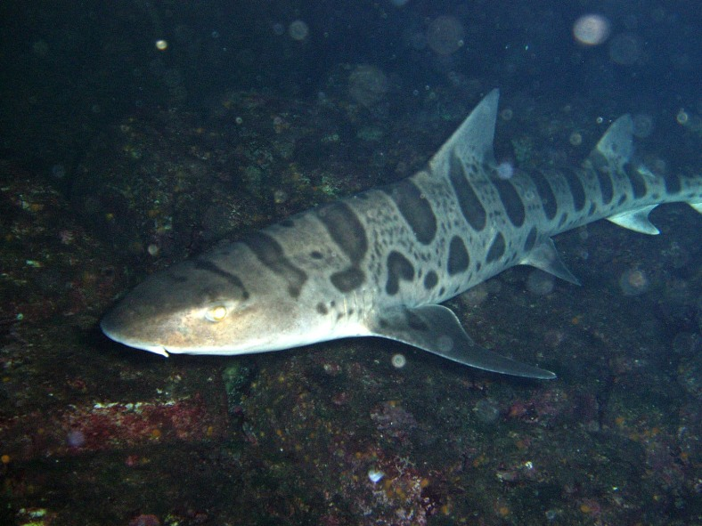 A leopard shark (Triakis semifasciata) at the Monterey Bay Aquarium. (Image Credit: Chad King/NOAA MBNMS)