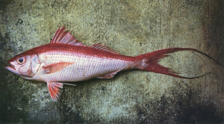 Etelis coruscans, the onaga. (Image Source: Guide to the Coastal Resources of Guam, Vol 1.  The Fishes.)