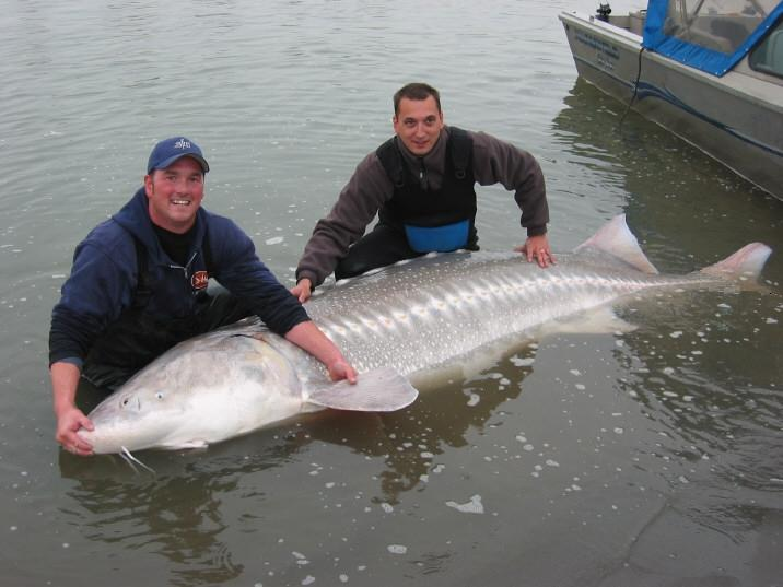 An adult white sturgeon from the Fraser River, British Columbia. (Image Credit: www.bcfishtours.ca)