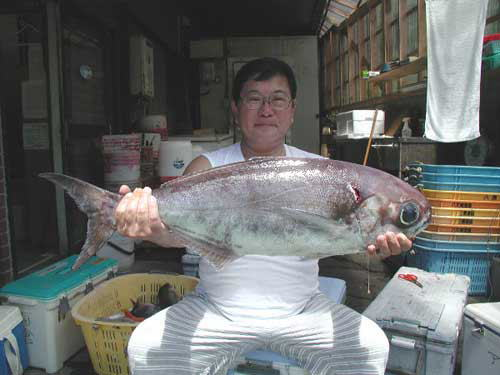 A 6kg medai caught off of Hachijō-jima. Image source: gyoshin.jp