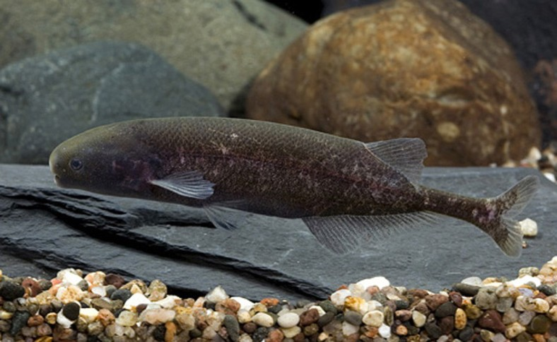 Brienomyrus brachyistius, a species of elephantfish in the family Mormyridae. (Image Copyright: Michigan State University)