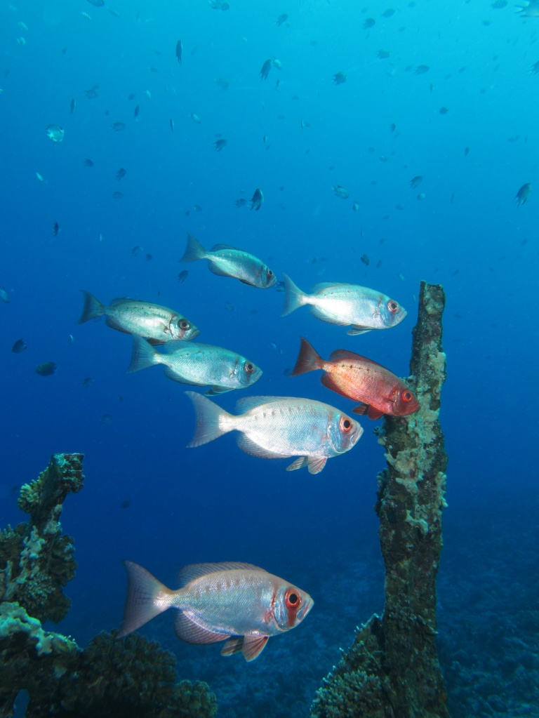 A small school of Priacanthus hamrur at the Red Sea. Photo by Alexander Vasenin/CC BY-SA 3.0.